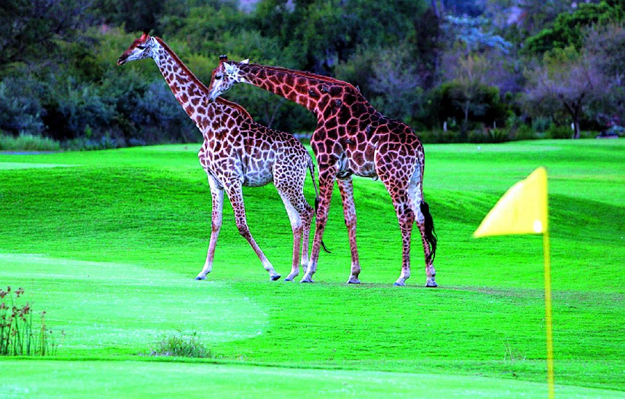 Majestättische Giraffen gehören zu den Wildtieren, denen Sie unterwegs begegnen können.